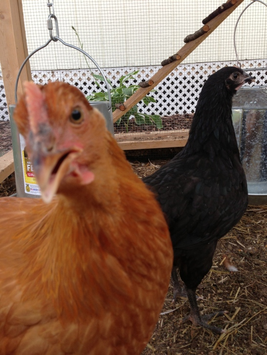 """Who me? Scare the little chicky?  Never."" - Jane the loud talker while silent Sylvia stalks around in the background."