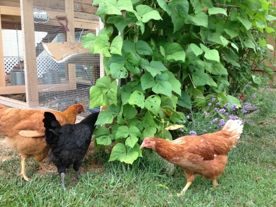 My green bean plants have taken over the world!  The chickens love checking them out.