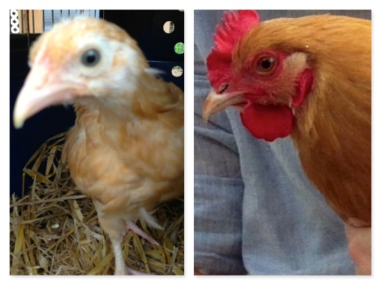 Beverly Clucky: then and now.  Left: Coming to her new home on June 8, and the day after her first egg Sept 23, 2013.