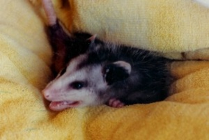 Dusty the Possum