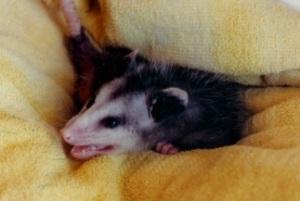 Dusty the Possum