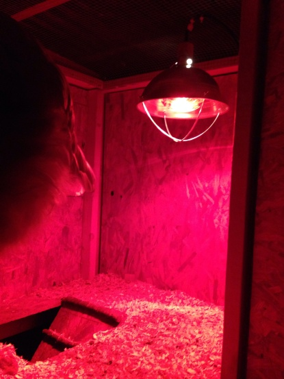 The newest addition to the Yellow Barn Poultry Coop...a heat lamp.