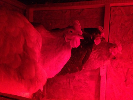The girls all snuggled up on their perch for the night in the light of the heat lamp.  Please excuse Beverly on the far left, who chose to stick her tailfeathers up for the camera.