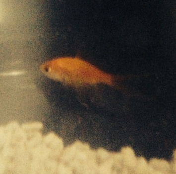 Methuselah, the world's oldest goldfish (maybenot, but close).