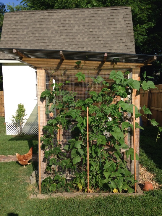 Look at how huge those tomatoes and bean plants are!  No stakes needed....they hold themselves up to the side of the coop.
