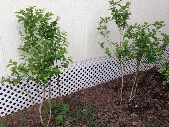 Our two blueberry bushes.  Tasty fruit and nice addition to our landscaping.